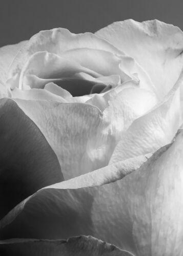 "/""White Rose/"" Fine Art Photograph by Steve Carlisle 15 x 21/"""