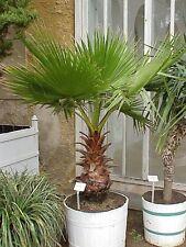 Ventilador de palma mexicana washingtonia robusta-Semillas Frescas