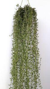 SENECIO-RADICANS-1-x-Esqueje-Cutting-Banana-String-30-cm-Succulent-plant