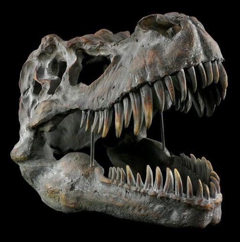 Totenkopf Tyrannosaurus Rex groß Dinosaurier Schädel Skelett Fossilien T-Rex