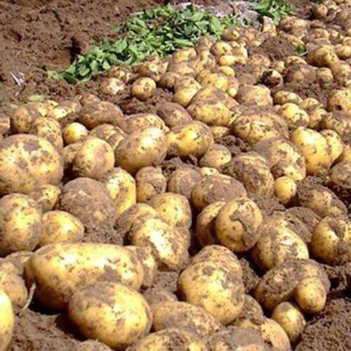 100X Potato Seeds Bonsai Garden Plants Nutrition Vegetable Sweet Yam Ean Seed