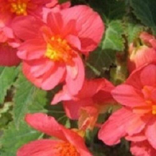 15 Begonia Seeds Illumination Salmon Pink Pelleted Seeds