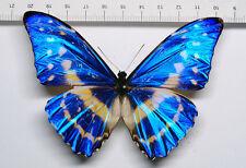 Butterfly Morpho Cypris lelargei Male Männchen Schmetterling Ecuador