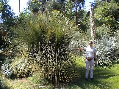 DASYLIRION SERRATIFOLIUM Dasylirio pianta succulent plant alv