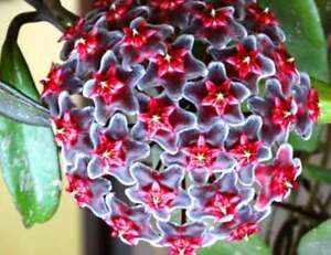 Hoya-Royal-Hawaian-Purple-Jungpflanze-Raritaet-Sehr-bluehfreudig