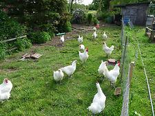 10 uova di bianchi Bresse gauloise, les Bleus (nessuna) uova da cova