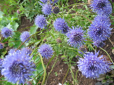 ; Frost /& Drought tolerant Brunonia australis BLUE PINCHUSION SEEDS