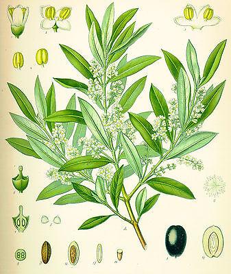 Olea europaea Bonsai penjing olive 100 Samen Olivenbaum mind echter Oelbaum