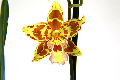 Rare Oncidium Tiger Crow - Golden Girl  not in bloom, easy to grow UK Seller