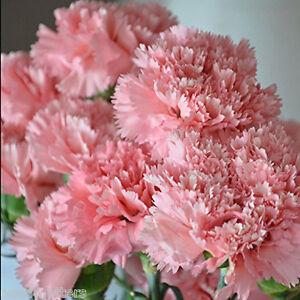 Carnation-Flower-seeds-100-Seeds