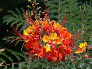 Pride Of Barbados Exotic Tropical Flowering Treeshrub Patio Plant