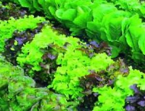 Vegetable-Lettuce-Mixed-Baby-Leaf-1000-Seeds-Economy-Microgreen-Salad