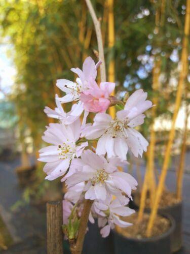 """Prunus subhirtella /""""Autumnalis Rosea/"""" 100-120cm Winterkirsche Schneekirsche"""
