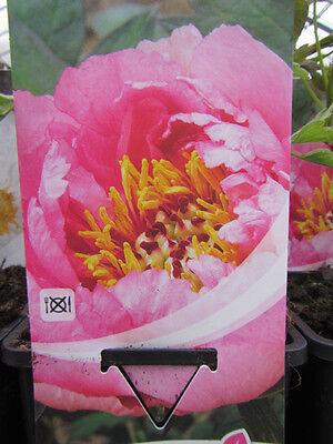 Strauchpäonie- Tree Peony *Rosa*- Winterharte Pflanze-Baumpfingstrose Paeonie