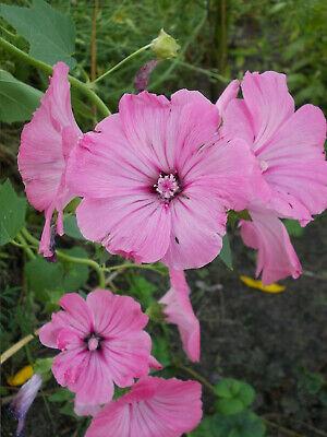 Mehrjährig 30 Lachs Doppel Malve Blumen Samen Alcea