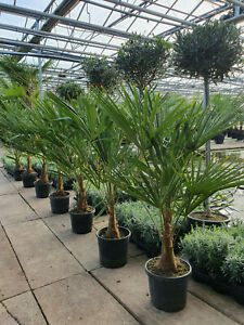 Winterharte-Hanfpalme-90cm-15-25cm-Stamm-Trachycarpus-Fortunei-Palme