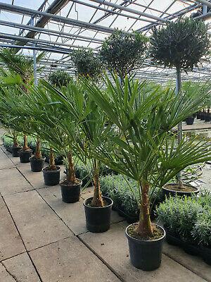 Trachycarpus Wagnerianus Hanfpalme 110cm mit 25cm Stamm.