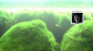 Wassergras unterwasserpflanzen filter f r den gartenteich for Stor fur gartenteich