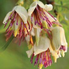 Clematis napaulensis muy raras especies floración invernal Gema de especies amenazadas