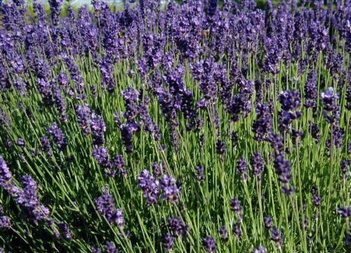 Lavandula angustifolia Bienenweide Kräutergarten 200 Samen Lavendel