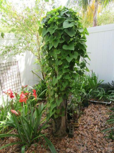 DUTCHMAN/'S PIPE VINE Aristolochia elegans -- 100 Fresh Seeds