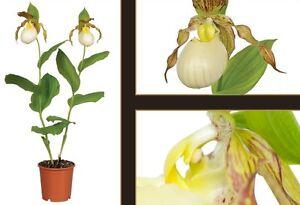 Details about Orchidée d\'extérieur rustique Cypripedium \'Kentucky maxi\',  grosses fleurs