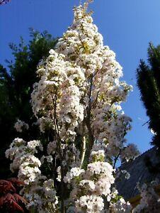 Prunus-serrulata-Amanogawa-Saeulenzierkirsche-160-170cm-Saeulenkirsche