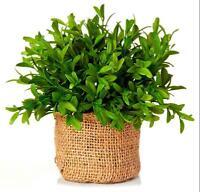 Large 9 Artificial Myrtle Plant In Burlap Pot Sage & Co.
