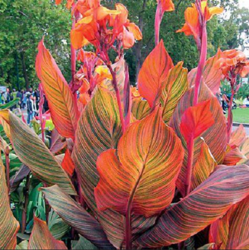 Canna Lily Bulbs Perennial Impressive Resistant Flower Plant Incredible Balcony