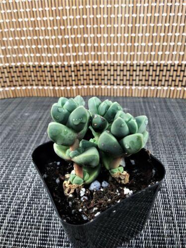 Live Succulent Plants Beginners Succulents Mini Garden U.S fast ship