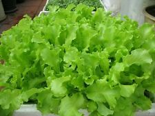 1 packet (300+ seeds) - Lettuce - Xa Lach - Seeds