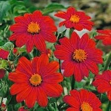 Sunflower- Mexican Red(Tithonia Speciosa Red Torch) 50 Seeds