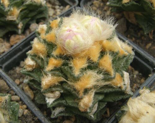 Ariocarpus  bravoanus v hintonii 100 seeds