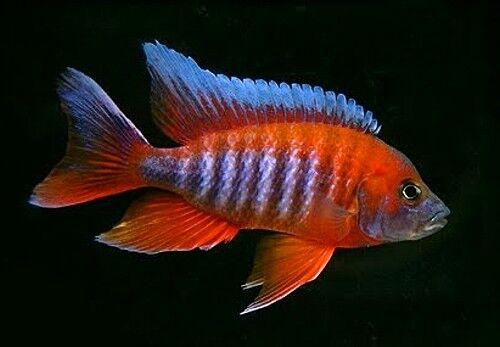6 (six) x Aulonocara jacobfreibergi 'Red' (Lake Malawi Cichlid)