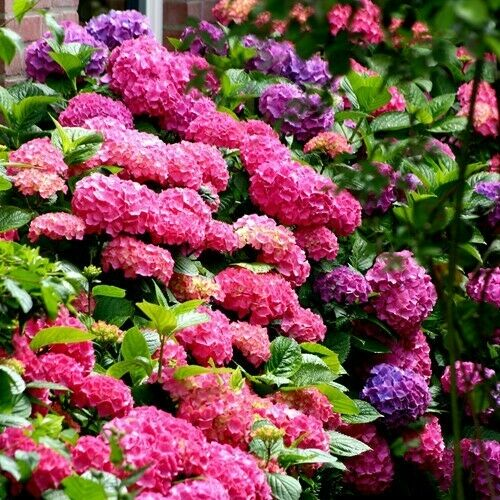 3x Hydrangea Bouquet Rose Plants Mop head large flowers Hardy Garden Shrub