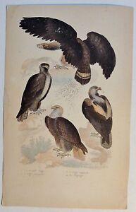 Adler-Le-Grand-Aigle-antik-Kolor-Steindruck-Litho-um-1800-Buffon