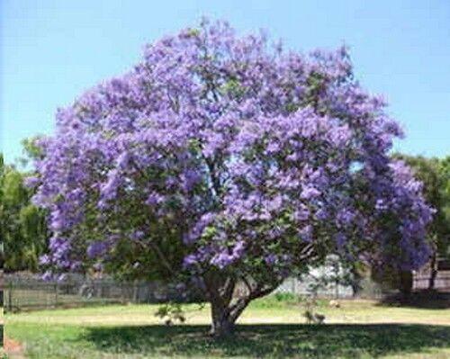 farbenfroher PALISANDERBAUM Zimmerbaum mit Honigduft