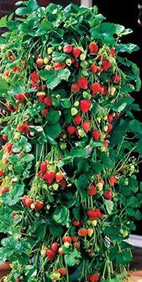 8 Strawberry  Hanging Flower Herbs Petunia gernamiums Carnations Hanging Flowers