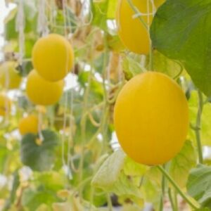 Vine Peach Produces 1st Year 80 Seeds Groco Buy Us Made In Usa Ebay Cantaloupe vine is a synonym for cantaloup vine. details about vine peach produces 1st year 80 seeds groco buy us made in usa