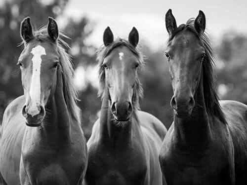 Vlies Tapete XXL Poster Fototapete Pferde Trio
