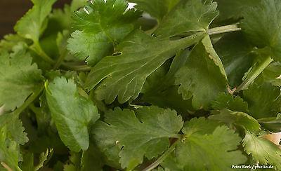 Koriander 200 Samen Coriandrum Sativum  Duftpflanze Gewürz  Heilpflanze 001405