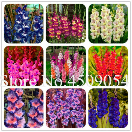 Striped Gladiolus Sword Seeds Plants Lily Flowers Orchid Rare Garden 100pcs