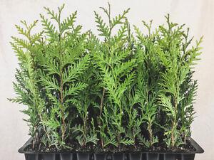 Thuja-Green-Giant-Arborvitae-Live-Trees-2-034-Pots-Evergreen-Privacy-Plants