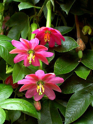 Banana PassionFruit (Passiflora mollissima ) - 20 Seeds