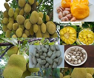 10-Oraganic-Fresh-JackFruit-Seeds-Tropical-Worlds-Largest-Tropical-Fruit-seed
