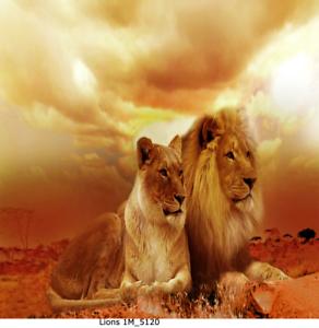 Löwe Familie Natur Bild auf Leinwand,30x30 cm//Lions 1M/_5120 Löwin