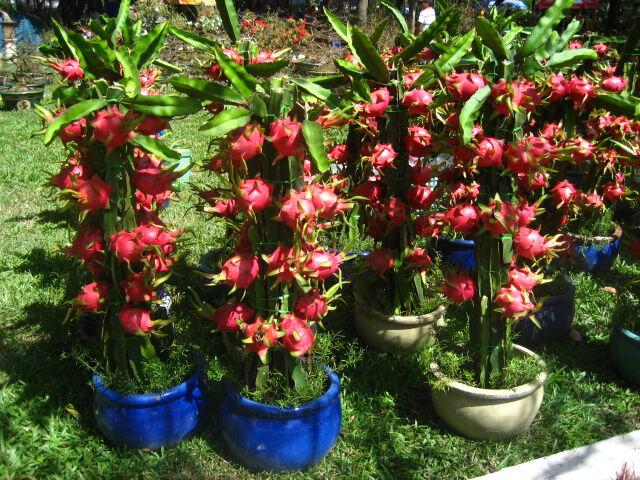 Dragon Fruit Cactus Seeds - 25 Rare fruit seeds