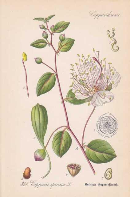 Besenginster THOME Lithographie von 1886 Cytisus scoparius