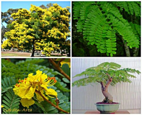 50 Graines Peltophorum Pterocarpum Yellow Poinciana Tree seeds