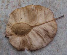 10 Pterocarpus marsupium Tree Seeds Malabar kino Indian kino tree